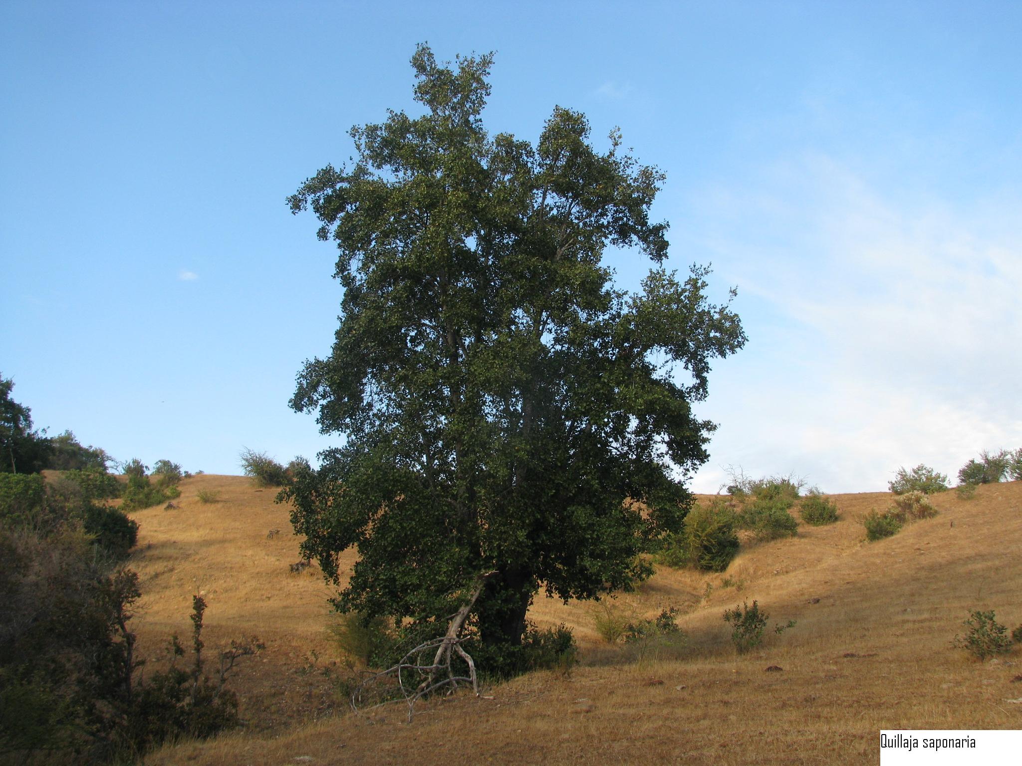árbol Quillay