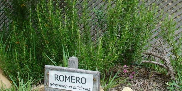 Plantas de romero