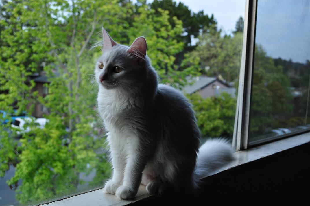 gato angora blanco en la ventana