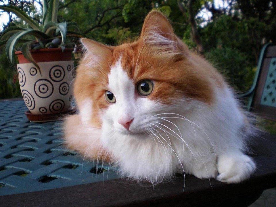 gato angora rojo