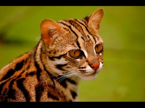 Gato Bengalí Un cariñoso ejemplar de aspecto fiero.