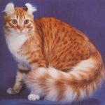 Curl Americano – Razas de gatos.